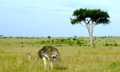 Ostrich on the Masai Mara (P.Bustin 2008)