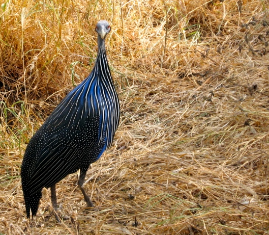 Blue Bird - Samburu (photo credit:Pam Bustin 2005)