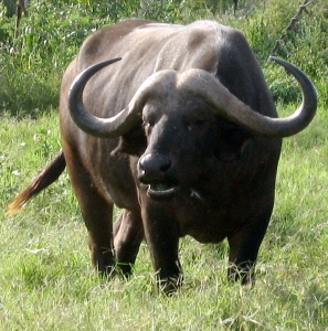 Water Buffalo - Samburu (Pam Bustin 2008)