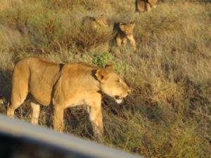 Lions - Samburu (P Bustin 2004)