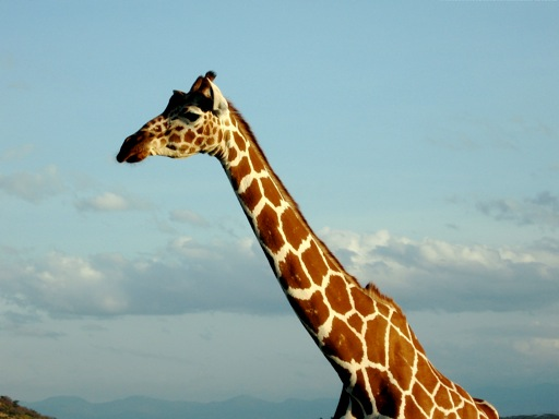 I dream of Jerome the Giraffe