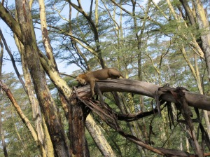 a lion up a tree